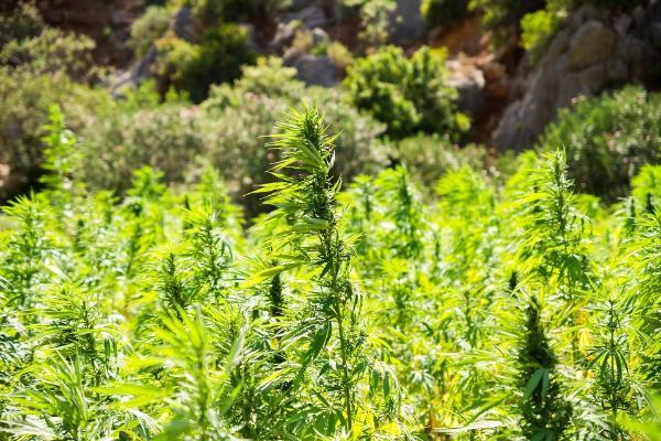 Конопля в пензенской поле марихуаны 13