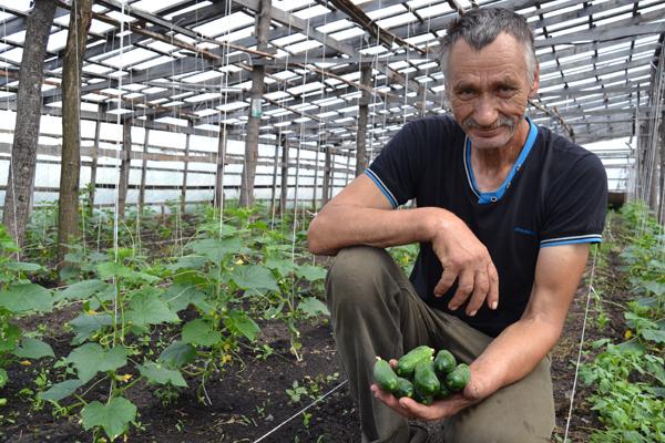 В Каменском районе овощевод планирует собрать не меньше трех тонн огурцов