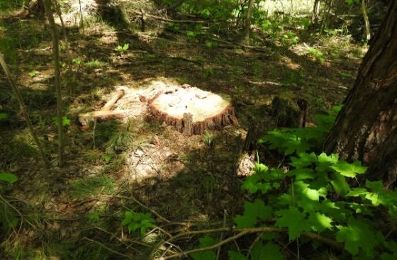 В Иссинском районе злоумышленники незаконно вырубили дубы