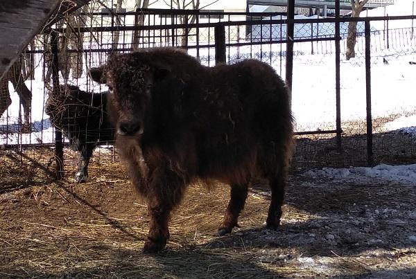 ВПензенском зоопарке сейчас проживает самка яка поимени Гера
